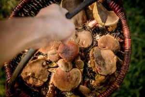 Die richtigen Pilze im Korb