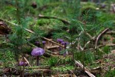 Violetter Lacktrichterling, Laccaria amethystea